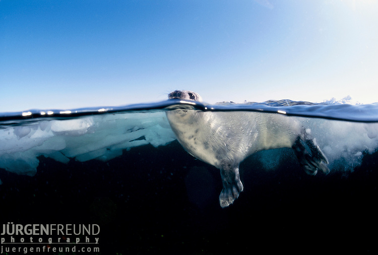 Juvenile Harp Seal in water, split level.Pagophilus groenlandicus