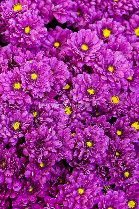 chrysanthème 'Zephyr'  (Dendranthema = Chrysanthemum 'Zephyr')  // mums, chrysanths, Chrysanthemum 'Zephyr'