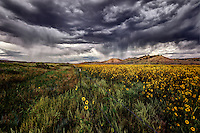 A field of sunflowers on one side of a fence line under a stormy sky along US 550 in northwest New Mexico.