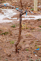 Young vine with a view of the sandy soil. Cordon Royat training. Bodega Valle Perdido (previously Arquen) Winery, Neuquen, Patagonia, Argentina, South America