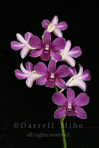 purple and white dendrobium orchid on stem on black background.<br />