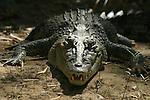 Crocodile (crocodylus porosus),en milieu naturel sur les berges de la rivière Adelaïde.Crocodiles Darwin australie