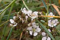 blossoms and unripe berries of common blackberry plant, Rubus fruitcosus, Crescent City Harbor, Del Norte County, California, USA, East Pacific Ocean