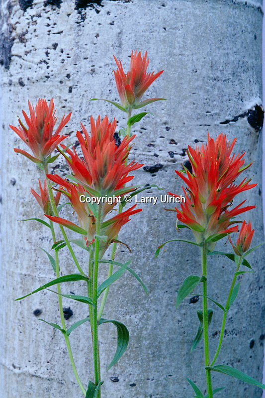 Common indian paintbrush and aspen<br />