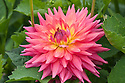 Dahlia 'Oakwood Fire', mid August.