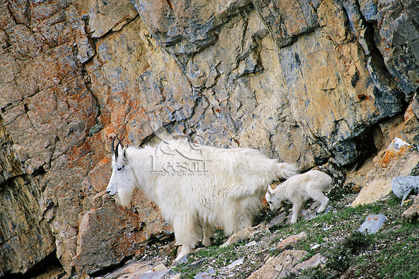 Mountain Goat nanny with young kid.  Northern Rockies.  May.
