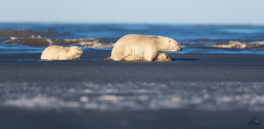 Mother Polar Bear (Ursus maritimus) forges a path through the slushy, shallow water just off shore from a spit of land.  Her female cub dutifully follows her mother's path, making a relatively easy journey ashore.  Her brother lingered behind, and he had a harder time getting ashore on his own.