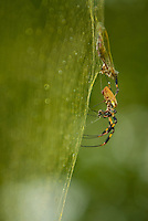 Banana Spider collecting prey in its web.