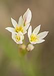 False Garlic wildflower
