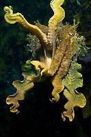 Giant cuttlefish, Sepia apama, threat display, Merimbula, NSW, Australia.