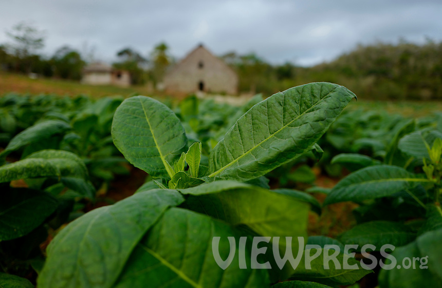 A view of tobacco leaves at a plantation in the western province of Pinar del Rio, Viñales, Cuba. February 28, 2017. Tourists from around the world visit to Cuba during the annual festival of the cigar, celebrate from February 27 to 3 of March.  VIEWpress/Eliana Aponte.