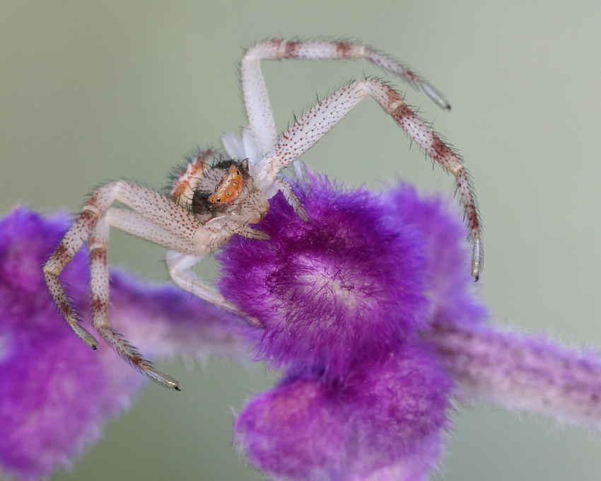 Crab Spider (Misumena vatia) and purple sage flower.