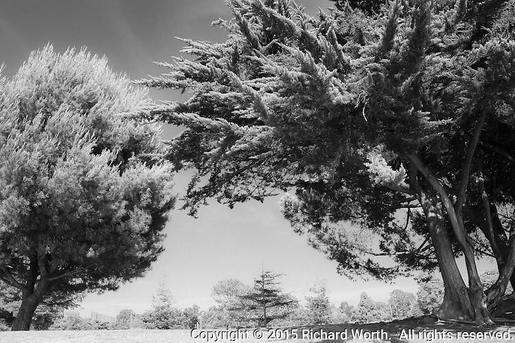 Two trees, rendered in infrared, stand as sentinels on either side of a struggling sapling.