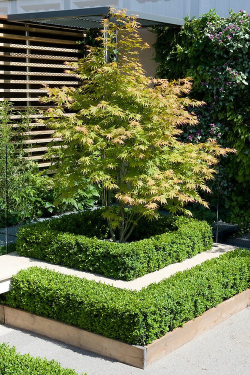 "Japanese maple and formal box hedges, Kate Gould's ""Eco Cgic"" Garden, RHS Chelsea Flower Show 2009."