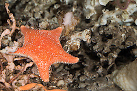 Knotiger Kissenstern, Arktischer Kissenstern, Knotiger Seestern, Pferdeseestern, Pferde-Seestern, Hippasteria phrygiana, Hippasteria trojana, Hippasteria insignis, Rigid Cushion Star, Arctic cushion star, starfish, starfishes, sea-star, seastar, sea-stars, Seesterne