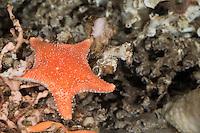 Knotiger Kissenstern, Arktischer Kissenstern, Knotiger Seestern, Pferdeseestern, Pferde-Seestern, Hippasteria phrygiana, Hippasteria trojana, Hippasteria insignis, Rigid Cushion Star, Arctic cushion star, starfish, starfishes, sea-star, seastar, sea-stars, Seesterne