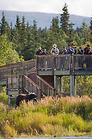 Tourists view brown bears from the viewing platform along the Brooks River, Katmai National Park, southwest, Alaska.