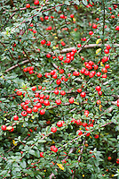 Cotoneaster conspicuous berries ered fruits