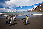 King penguins walk the beach, South Georgia Island