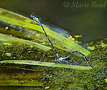 Damselflies: Aurora Damsels (Chromagrion conditum), tandem pair with female egg-laying, New York, USA