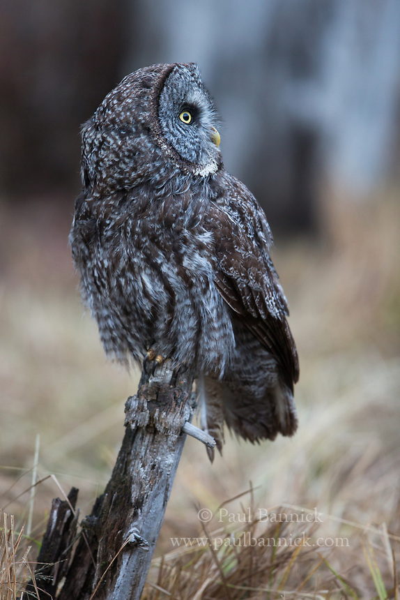 Great Gray Owls often perch quite close to the ground to better listen for prey.