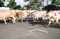 Cattle during the Greely Stampede in Greely, Colorado, July 1, 2015.<br /> <br /> Photo by Matt Nager
