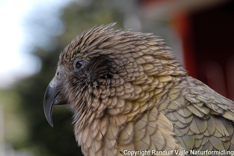 Kea (Nestor Notabilis) Arthurs Pass Willage, New Zealand.