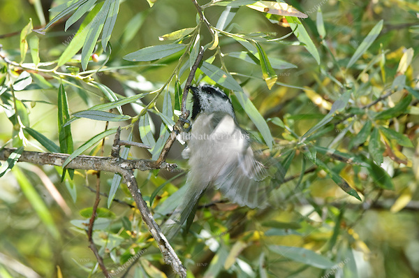 Mountain Chickadee (Poecile gambeli) foraging in a Silverleaf Oak (Quercus hypoleucoides), Arizona