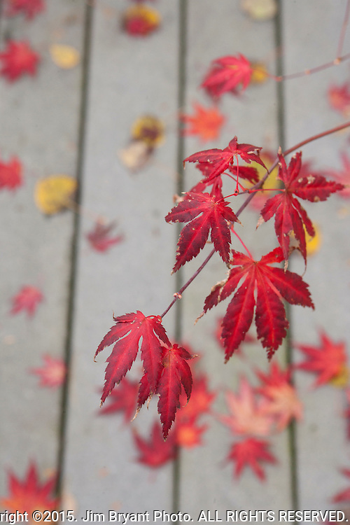 Red Japanese Maple leaves litter the deck and planter. ©2015. Jim Bryant Photo. ALL RIGHTS RESERVED.