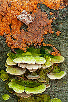 Shelf and other fungus grows on a log, Warren Woods State Park, Berrien County, Michgan