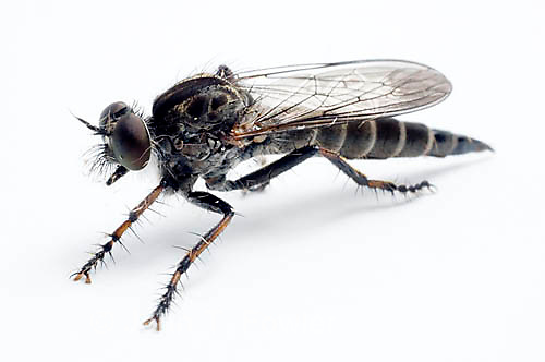 Robber Fly, Asilidae, predaceous insect