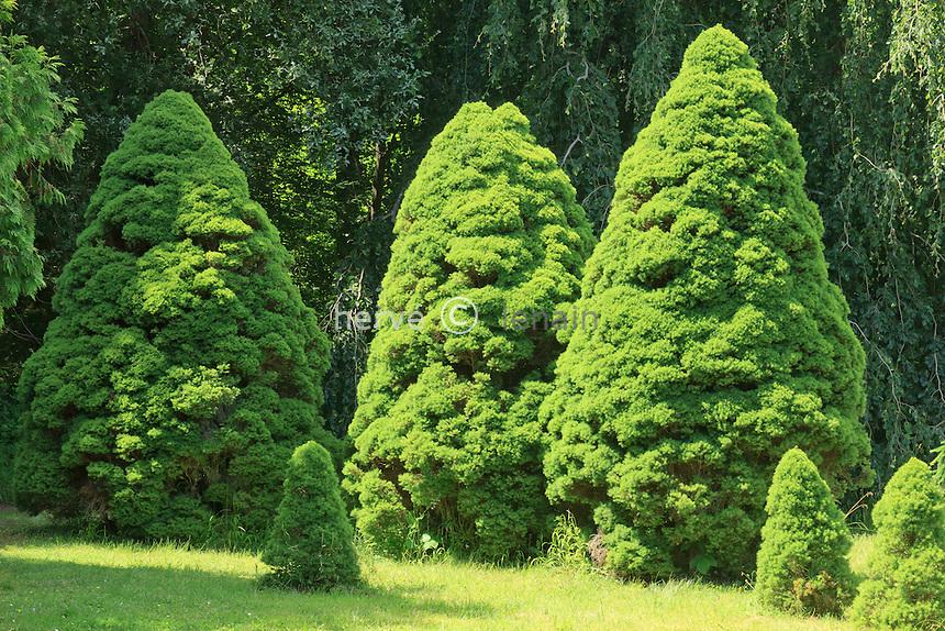 Arboretum des Barres ou Arbofolia, dans le Bizarretum, trois Picea glauca var. albertiana 'Conica' // Alberta white spruce 'Conica', Picea glauca var. albertiana 'Conica'.