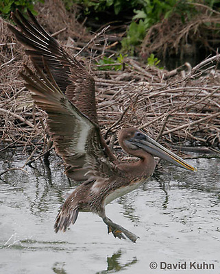 0308-0890  Flying Brown Pelican, Pelecanus occidentalis © David Kuhn/Dwight Kuhn Photography