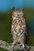 564050014 a captive wildlife rescue great horned owl bubo virginianus perches on a tree limb on dave and myrna langford's turkey hollow ranch in the texas hill country in central texas united states