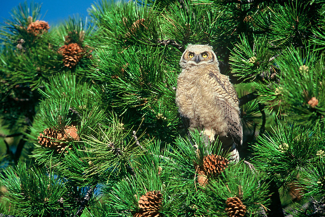 A young Great horned owl (Bubo virginianus) sits in a  pine tree in Rocky Mountain National Park, Colorado.