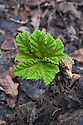 Gunnera manicata, late December. New leaves appearing very early in an unusually warm, wet winter.
