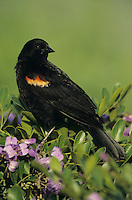 Red-winged Blackbird, Agelaius phoeniceus,male on blooming Texas Mountain Laurel (Sophora secundiflora), Lake Corpus Christi, Texas, USA