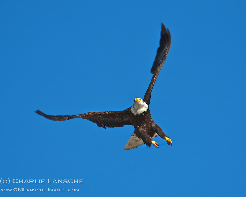 Wintering bald eagle swoops in for a closer look.  Summit County, Utah.