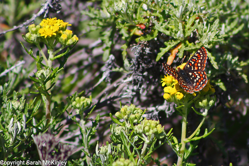 A checkerspot butterfly opens its orange and black wings while perched on a yellow flower along Highway 1 north of Westport in Mendocino County in Northern California.