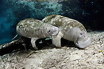 Endangered Florida Manatee mother and calf (Trichechus manatus latirostris) at Three Sisters Spring in Crystal River, Florida, USA. The Florida Manatee is a subspecies of the West Indian Manatee.