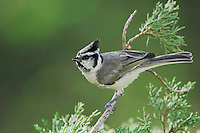 Bridled Titmouse, Baeolophus wollweberi, adult, Paradise, Chiricahua Mountains, Arizona, USA