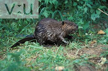 A beaver (Castor canadensis) Shenandoah National Park, Virginia