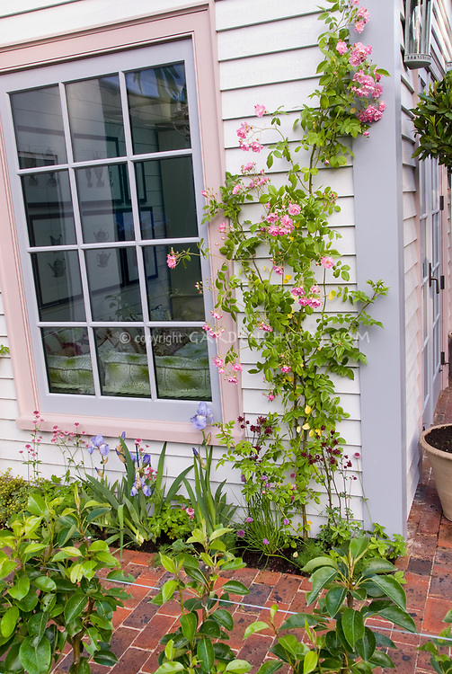 Roses trained against house next to window, in pink bloom with underplanted pink chive herbs, with blue irises, matching rim of home decor, curb appeal foundation plantings garden, vine, perennials, flowers, shrubs, container, edible plants, mixed