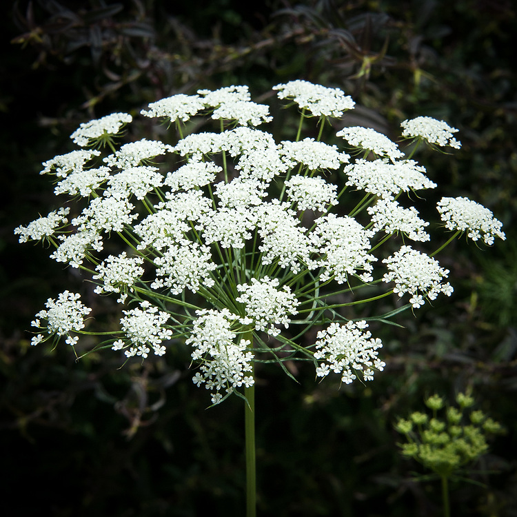 Ammi majus, mid July.