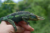 CH36-524z  Male Jackson's Chameleon or Three-horned Chameleon being held, Chamaeleo jacksonii