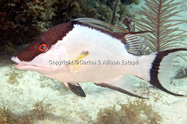 Lachnolaimus maximus, Hogfish, FL Keys