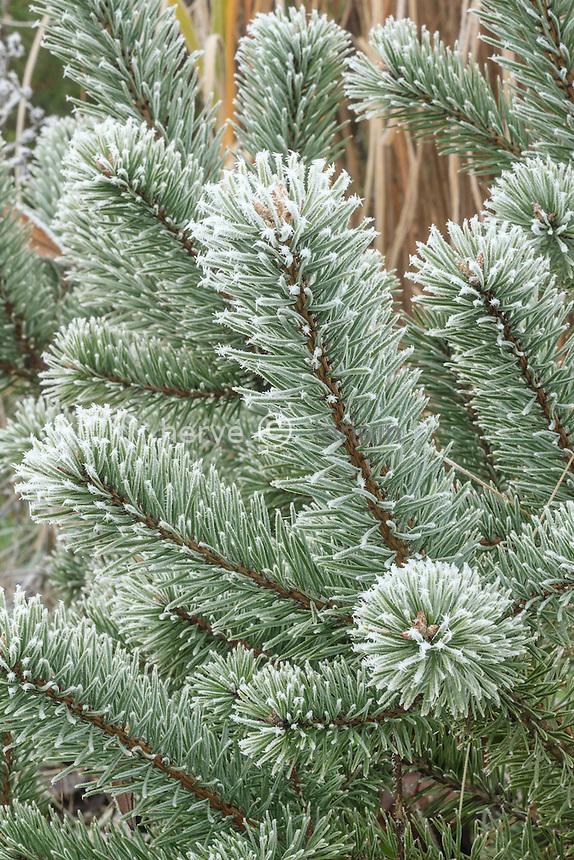 givre sur pin sylvestre, Pinus sylvestris // frost on Scots pine , Pinus sylvestris