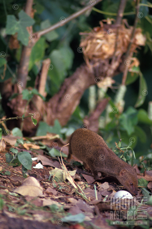 alien Indian Mongoose (Herpestes auropunctatus), preying on birds and eggs