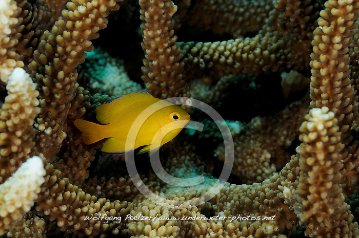 Golden damselfish in Hard corals, Goldener Riffbarsch in Steinkorallen, Golden damselfish in Hard corals, Tulamben, Bali, Indonesien, Indopazifik, Indonesia Asien, Indo-Pacific Ocean, Asia