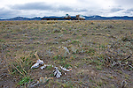 The skeleton of a pronghorn roadkill lies at the side of a busy highway, another migration mortality.